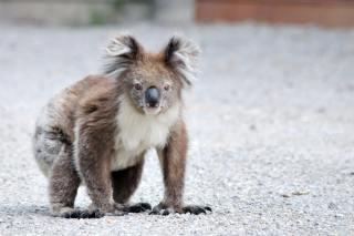 koala-cote-sud-itineraires-road-trip