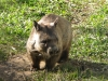 Wombat - Rockhampton Zoo