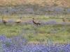 Emu - Flinders Ranges National Park