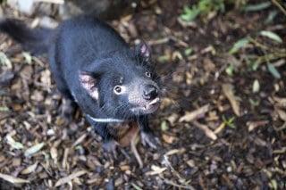Diable-Tasmanie-australie
