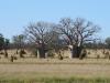 Baobabs de Derby