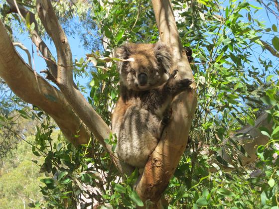 Petit arrêt devant le koala