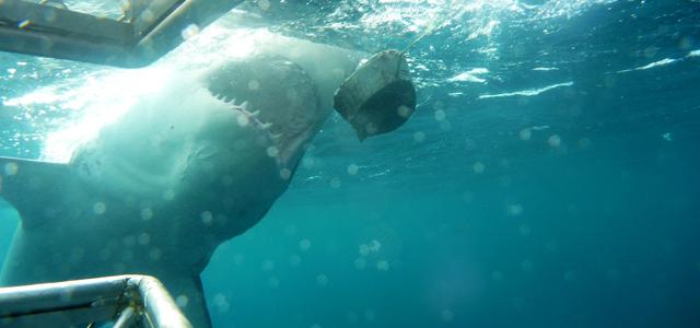 grands requins blancs australie