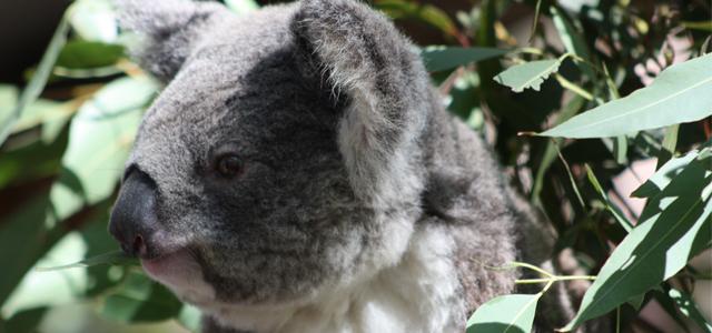 Adopter un koala Australie