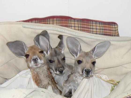 Bébés kangourous au lit