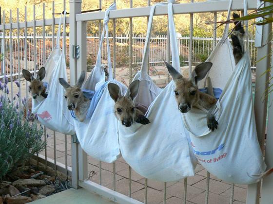 bébés kangourous - Kangaroo Sanctuary