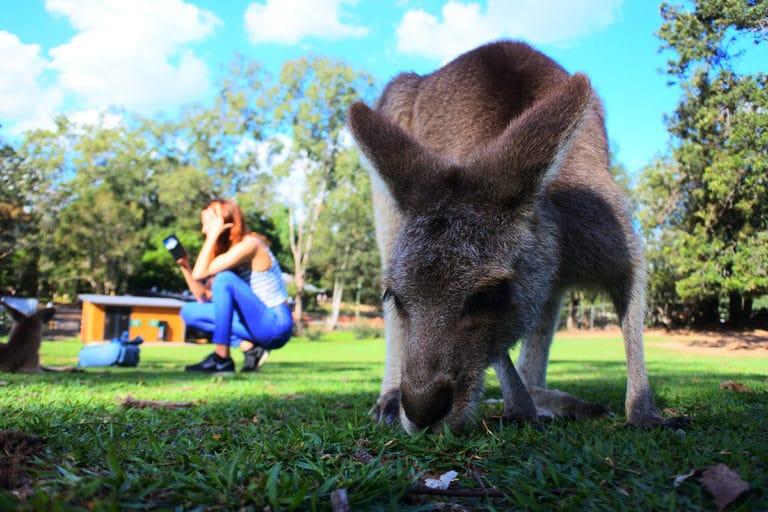 Wwoofing en Australie : travailler avec des kangourous