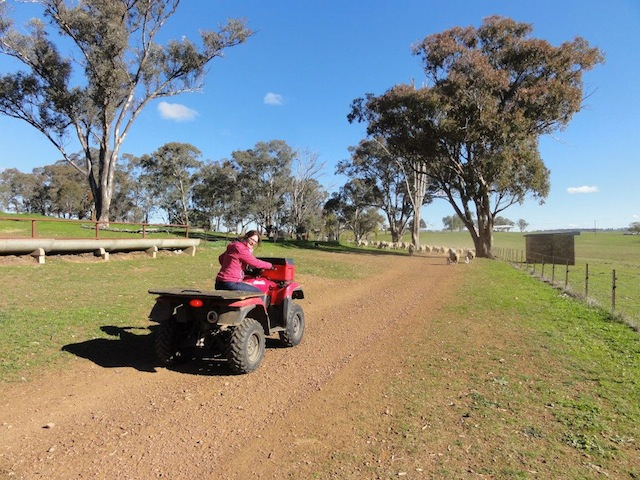 Quad Elevage moutons australie job