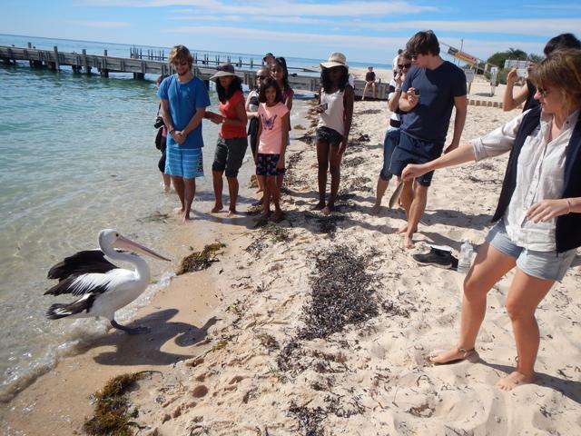 """Il faut """"distraire"""" les pelicans lorsque l'on arrive avec les poissons pour les dauphins"""