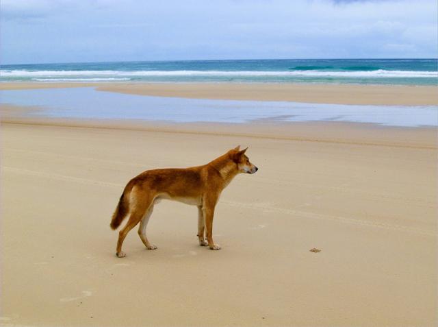 Fraser Island Dingo Australia beach