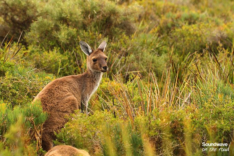 kangaroo_soundwaveontheroad