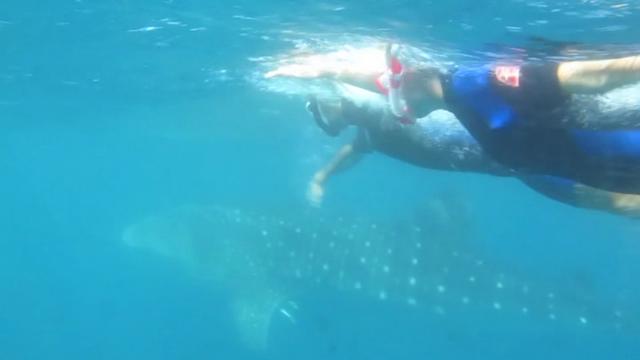 requins baleines exmouth Australie