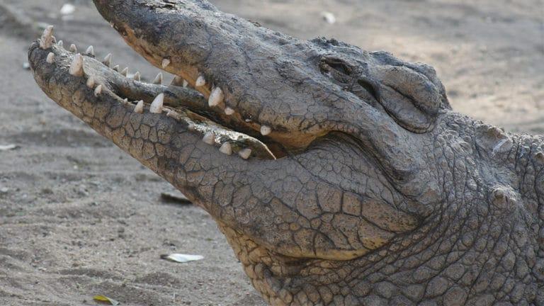 Les crocodiles d'Australie