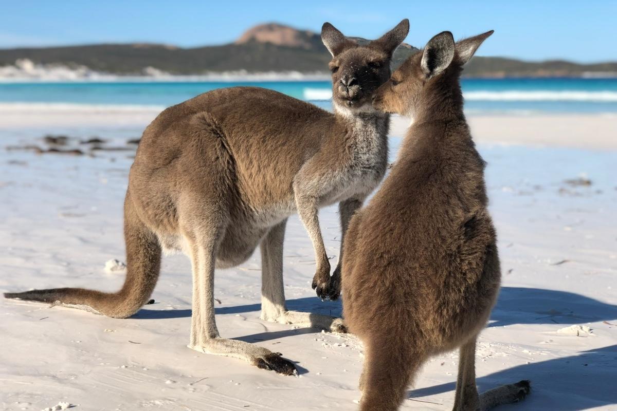 Kangourous - Espérance - Western Australia - Côte Ouest Australie