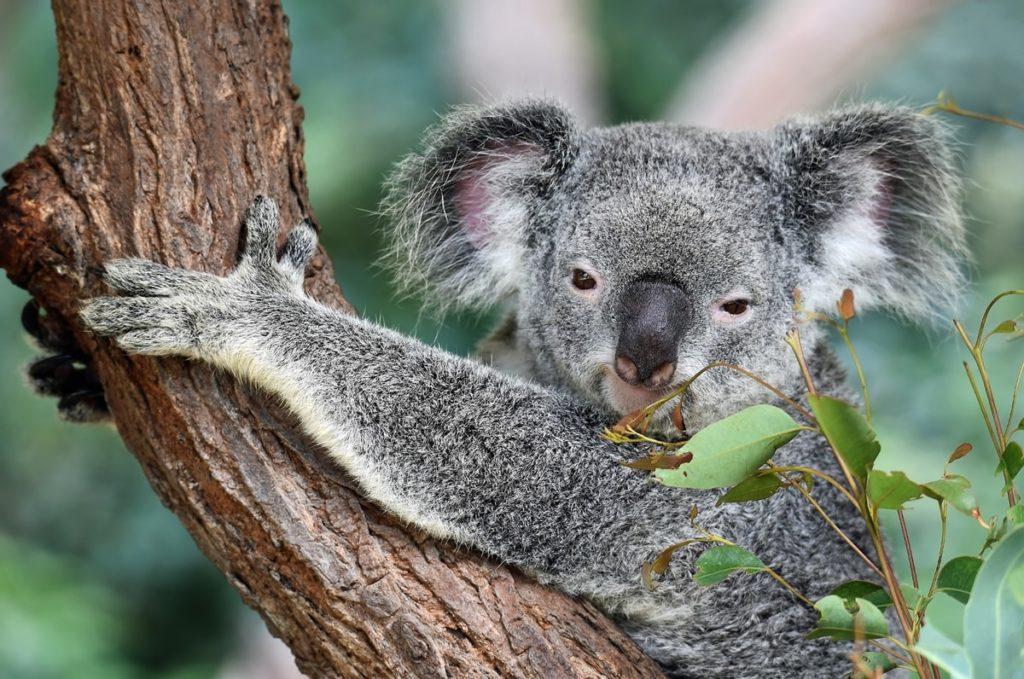 Balade des koalas