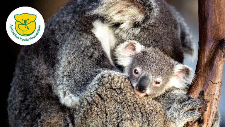 Assure-toi et sauve un koala