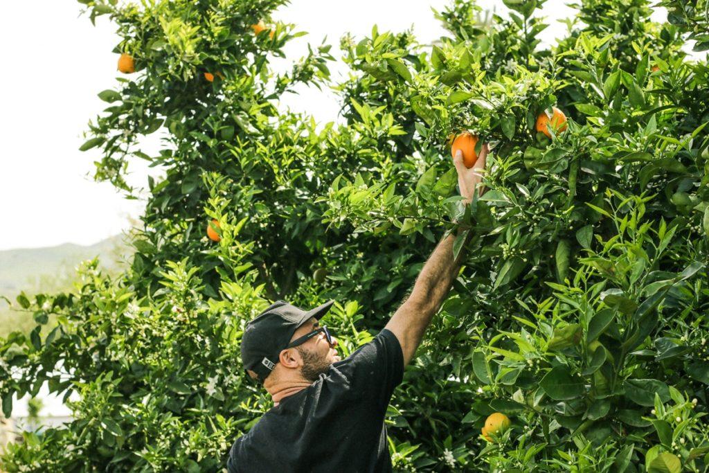 Road trip Australie - Guide - Fruit picking