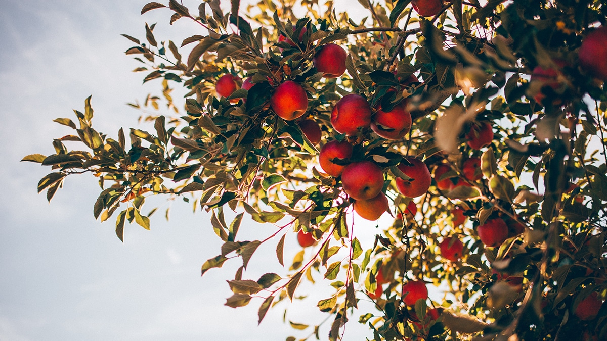 carte fruit picking