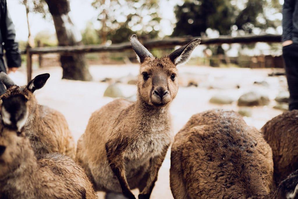 kangourous melbourne