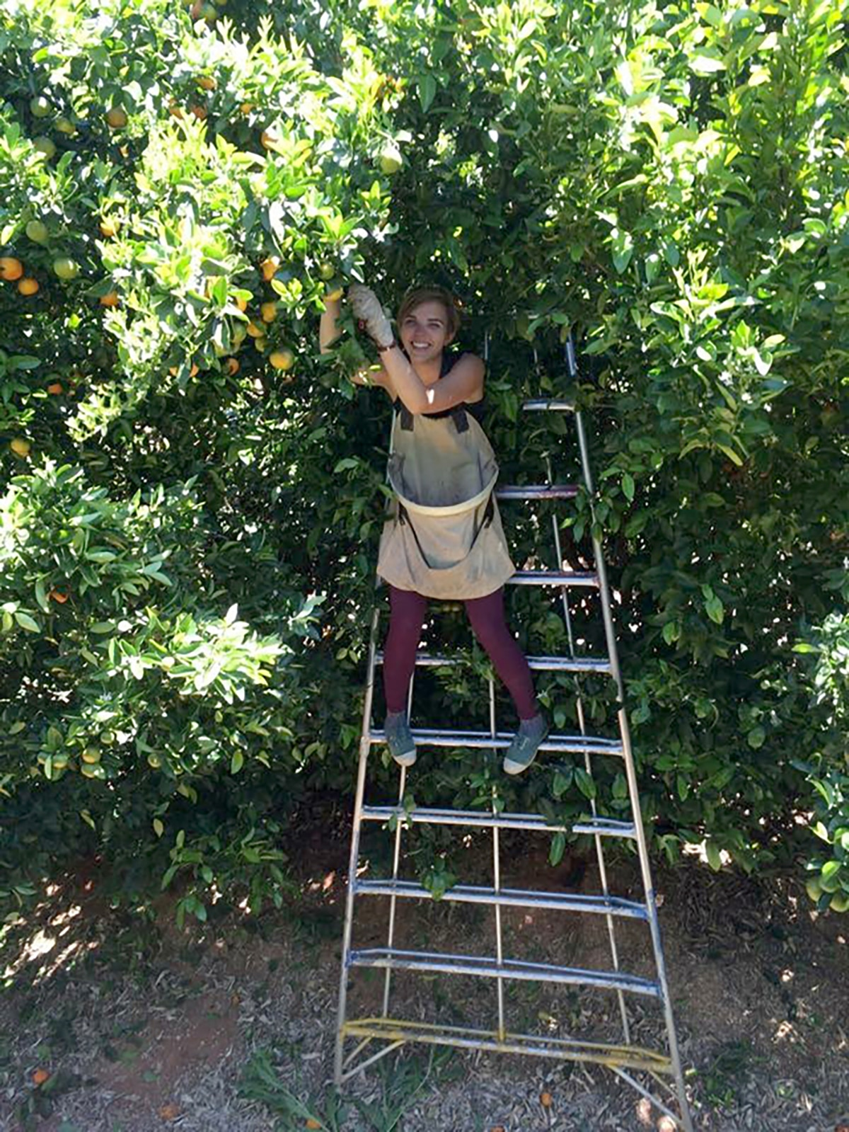 Fruit picking Renmark Australie 3