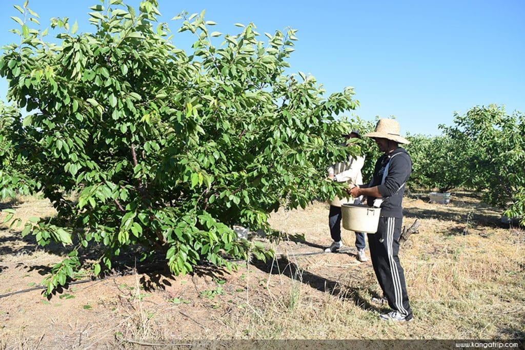 fruit picking cerise job australie